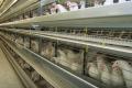 Т-2 токсикоз спричиняє в курей зниження яйценосності