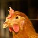Rabobank радить змінити рецептуру комбікормів для птиці, аби зменшити витрати