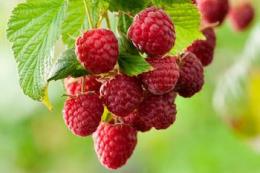 Виробники малини недоотримують 10-12 грн/кг, — думка