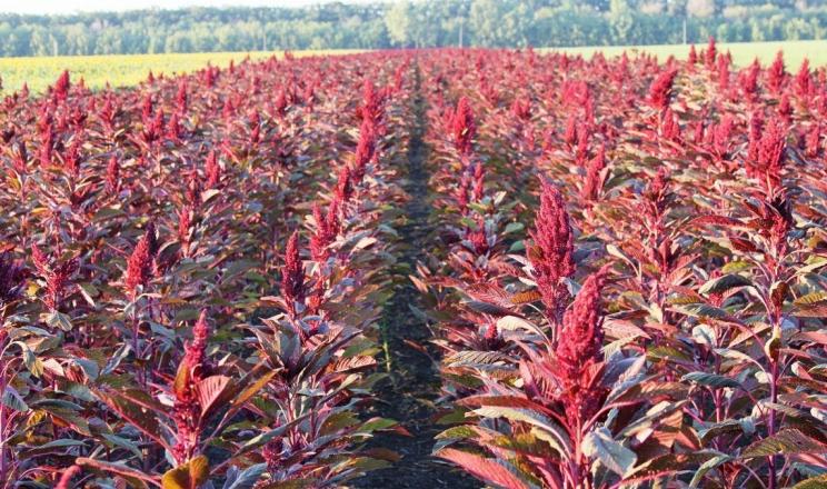 На Поліссі здійснено перші виробничі посіви амаранту