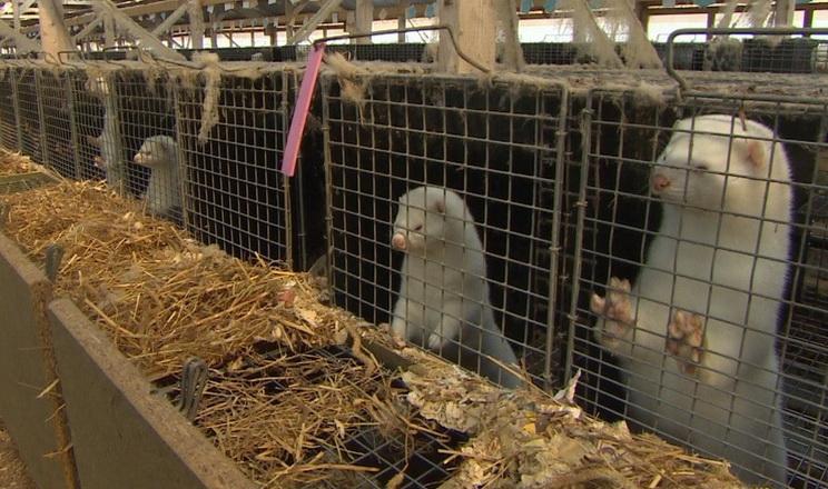 В Україні понад 25 тис. тонн відходів птахоферм і рибзаводів утилізували норкові ферми