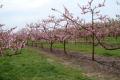Для сталого та якісного врожаю персик на півдні України потребує зрошення