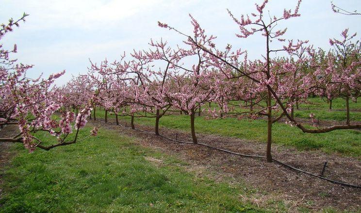 Персик потребує найменше фосфору порівняно з іншими плодовими культурами