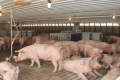 У спеку в приміщеннях для свиноматок краще створювати механічне, а не природне провітрювання