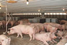 З початку року через АЧС втрачено 17% світового поголів'я свиней