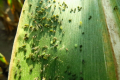 До 28% посівів кукурудзи пошкоджені шкідниками
