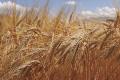 Вчені вивели сорт пшениці з більшим умістом вуглеводів-фруктанів, що робить її стійкішою до змін клімату