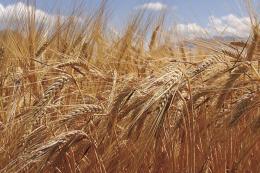 Низька якість аргентинського зерна тиснутиме на світові пшеничні ринки, - прогноз