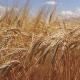 Цього року на ринку пшениці домінуватимуть ведмеді