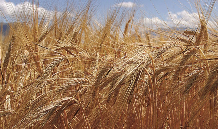 Досліджено урожайність вітчизняних сортів озимої пшениці в умовах степу без зрошення