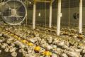 Розгінні вентилятори у пташниках дозволяють зменшити час роботи обігрівачів
