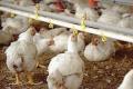 Скільки має тривати вакцинація птиці випоюванням