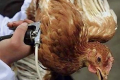 «Хорост-Плюс» частіше вакцинує птицю від вірусних хвороб