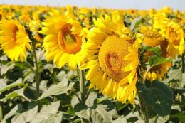 В Україні на 44% зросли площі  під високоолеїновим соняшником