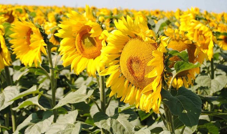 Соняшник потребує більше елементів живлення, ніж рекомендовано