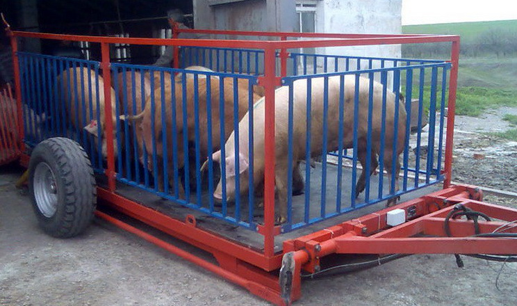 За 10 місяців на імпорт живих свиней Україна витратила понад $5 млн