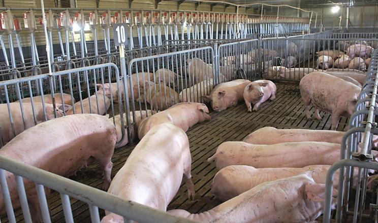Ціни на живець свиней стабілізувалися