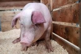 Як боротися з кульгавістю у свиноматок