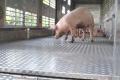 Реалізувати свиней тепер можна лише підприємствам, підконтрольним компетентному органу