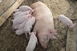 Вакцинація свиноматок може бути цінним інструментом боротьби з M. hyo