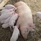 Частіша годівля меншими порціями зменшує вироблення тепла у свиноматок