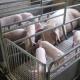 Дезінфекційні засоби з наночастинками мають високу ефективність у свинарстві