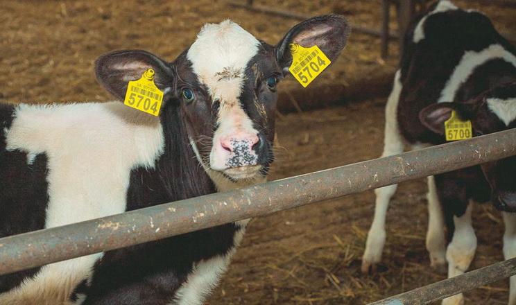 Телята, ослаблені та старі корови найчастіше хворіють на бронхіт