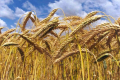 На Донеччині посіви озимої пшениці та тритикале постраждали від стеблової нематоди