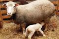 Підприємства Тернопільщини збільшили поголів'я овець і кіз на 87,5%