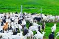 Київське господарство утримує кіз за власною технологією
