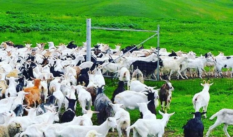 У сільгосппідприємствах поголів'я овець і кіз за чотири місяці скоротилося на 15%