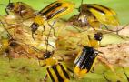 На Хмельниччині та Буковині ввели карантин через західного кукурудзяного жука