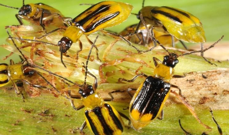 Західний кукурудзяний жук живе п'ять-шість тижнів