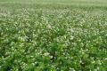 Гречка найкраще засвоює фосфорні та безхлорні види калійних добрив