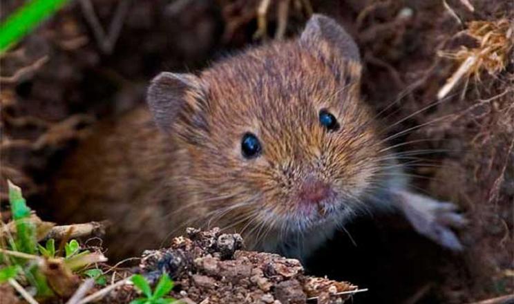 Мишоподібні гризуни заселяють до 100% посівів на Харківщині