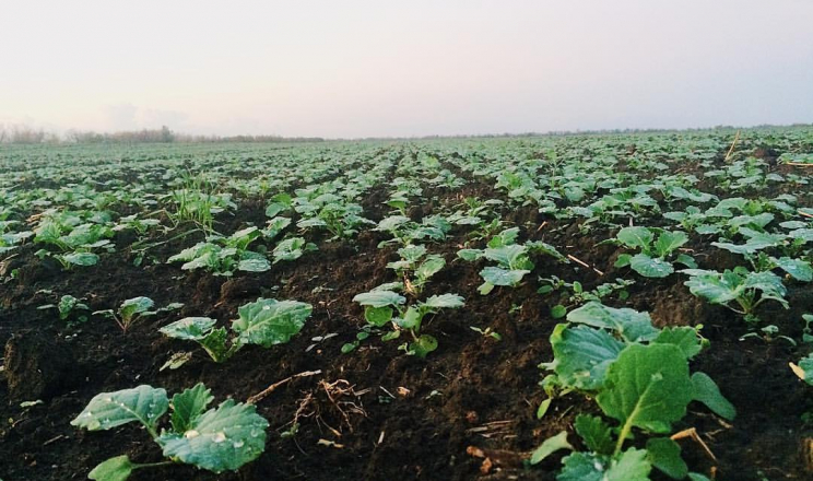 Восени ретарданти застосовують залежно від стану посівів ріпаку