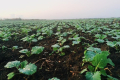Сівба озимого ріпаку в дуже пухкий ґрунт сприяє розвитку бактеріозу коренів