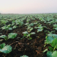 Надлишок азоту знижує зимостійкість посівів ріпаку