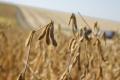 «Астарта» зберегла врожайність соняшнику і сої на рівні минулого року
