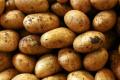 Оброблення насіннєвих бульб гібереліном підвищує рентабельність на 25%