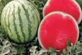 Під Черніговом вирощують безкісточкові кавуни