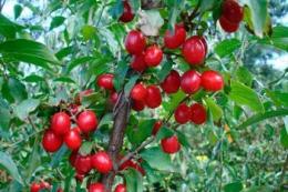 Famberry вироблятиме з кизилу настоянки та наливки