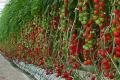 Завдяки томатам в турецьке село повертаються мігранти