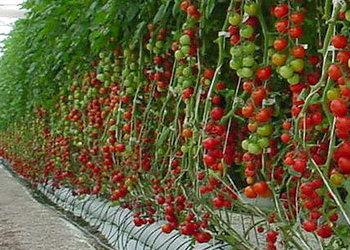 Падає виробництво томатів в Іспанії та Італії, росте в Польщі, Нідерландах, Франції, та Марокко