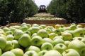 Кримські яблука збирають гастарбайтери