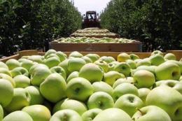 Фактичний врожай яблук у Молдові значно нижчий за прогнози