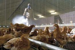Коли формується гуморальний захист за вакцинації птиці від хвороби Ньюкасла