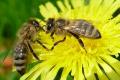 Верховна Рада зареєструвала законопроєкт щодо посилення захисту бджільництва