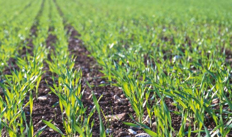 Найкращими попередниками для пшениці є бобові культури і їх сумішки