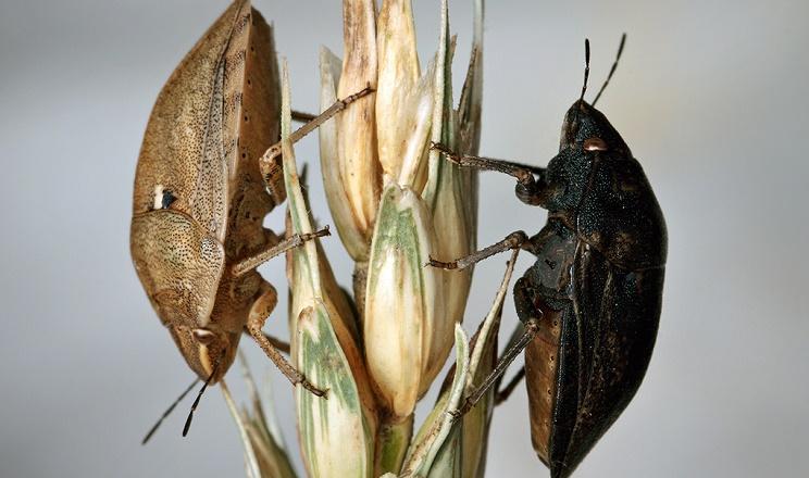 Покращити властивості зерна, пошкодженого клопом-черепашкою, можна завдяки змішуванню його зі здоровим зерном